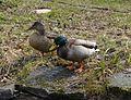 Zwei brave Enten am 31-3-13.jpg