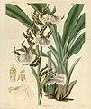 Zygopetalum maculatum (Zygopetalum mackayi) - Curtis' 62 (N.S. 9) pl. 3402 (1835).jpg