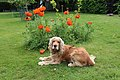 """Bill"" - Cocker spaniel anglais 6.JPG"
