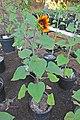'Firecracker' sunflower IMG 5463.jpg