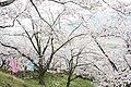 (山梨県) 大法師公園にて。一山、まるごと桜で埋めたような山でした。全山2000本のサクラだそうです。頂上ではお - panoramio.jpg