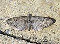 (1819) Mottled Pug (Eupithecia exiguata) - Flickr - Bennyboymothman.jpg