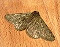 (1926) Pale Brindled Beauty (Phigalia pilosaria) (6670073261).jpg