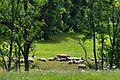 (4) Beweidung durch Schafe im Donntal.jpg