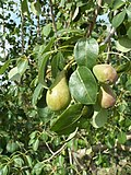 (ALB) P. communis - fruit-6.jpg