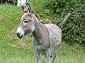 Âne gris dun en Mayenne (4).jpg