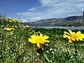 Άνθη παραλιακά της Λιμνοθάλασσας Αιτωλικού.jpg