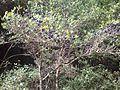 Αγριελιά - panoramio.jpg