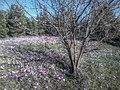 Ανεμώνες δίπλα στο Σταφυλλάκι δίπλα στο Ρέμα του Κοκκιναρά - panoramio.jpg