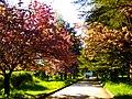 Алея сакур в ботанічному саду ТНУ імені В. І. Вернадського.jpg