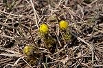 Бутони горицвіту весняного у Дворічанському НПП.jpg