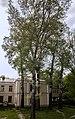 Група вікових дерев тополі білої 07.jpg