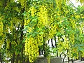 Жовта акація (карагана) в Севастополі.jpg