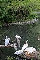 Київський зоопарк Пелікани 03.JPG