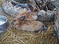 Кролики в Ялтинском зоопарке.jpg