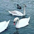 Лебеди на Оронгойском озере.jpg