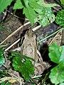 Лягушка - panoramio (1).jpg
