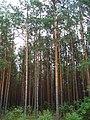 Сосновий ліс в НПП Прип'ять-Стохід.jpg