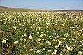 "Філія ЛПЗ НАНУ ""Стрільцівський степ"" Centaurea ruthenica.jpg"