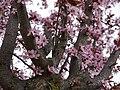 Цветение вишни мелкопильчатой 3.jpg