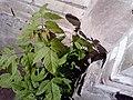 Ясенелистный клён.jpg