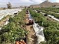 برداشت گوجه فرنگی در دی ماه - panoramio.jpg