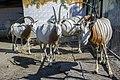 تیزشاخ آفریقایی-باغ وحش مشهد ایران- scimitar oryx in zoo in iran 01.jpg