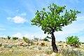 درخت بادام-طبیعت نیریز-عکاس روحاله یگانه.jpg