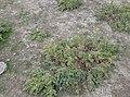 گیاهان مقاوم به خشکی در ترکمن صحرا.jpg