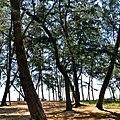 แนวชายหาด และป่าสนบริเวณแหลมตะลุมพุก - panoramio.jpg