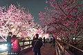【台中。泰安景點】泰安櫻花季 (32332327983).jpg