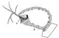 タヌキモの捕虫嚢.png