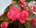 四季秋海棠-重瓣 Begonia Doublet 'Red' -香港青松觀蘭花展 Tuen Mun, Hong Kong- (26702348591).jpg