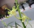 報歲素花奇形瓣 Cymbidium sinense 'Plain Odd' -香港沙田國蘭展 Shatin Orchid Show, Hong Kong- (12266948303).jpg