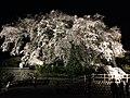 大原のしだれ桜(夜間).jpg