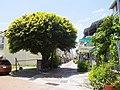 大同路二段449巷旁的榕樹 - panoramio.jpg