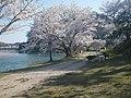 桜並木と散歩中の犬 - panoramio.jpg