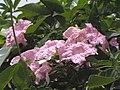 紅花風鈴木 Tabebuia rosea -香港迪欣湖 Inspiration Lake, Hong Kong- (9193428980).jpg
