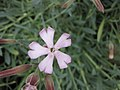 肥皂草屬 Saponaria sicula v intermedia -倫敦植物園 Kew Gardens, London- (9198100247).jpg