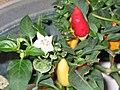 辣椒 Capsicum frutescens -香港動植物公園 Hong Kong Botanical Garden- (9237477887).jpg