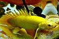 金恐龍白子 Polypterus senegalus albino - panoramio (1).jpg