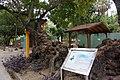 金龜樹 Pithecellobium dulce - panoramio (1).jpg