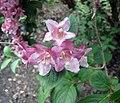 錦帶花屬 Weigela Newport Red -比利時國家植物園 Belgium National Botanic Garden- (9163794305).jpg