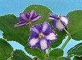非洲紫羅蘭 Saintpaulia Ma's Mardi Gras Sport -香港北區花鳥蟲魚展 North District Flower Show, Hong Kong- (31766049141).jpg