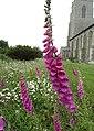 -2020-06-12 Foxglove in flower, All Saints, Walcott (1).JPG