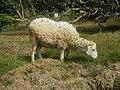 0306Sheep–goat hybrids 05.jpg
