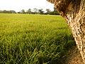 03935jfPaddy fields village Baliuag Bulacan Candaba Pampanga Bridge Roadfvf 03.JPG
