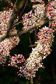 1039 Pink Shower tree (Cassia bakeriana Craib) - Sinakharin Dam National Park, Kanchanaburi, Thailand.jpg