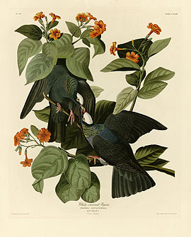 177 White-crowned Pigeon crop.jpg