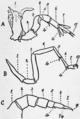 1911 Britannica-Arachnida-Comparison.png